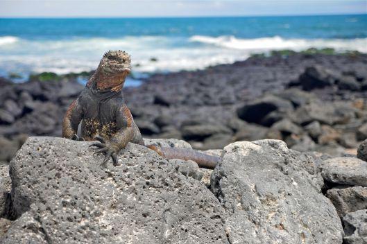 galapago-iguana